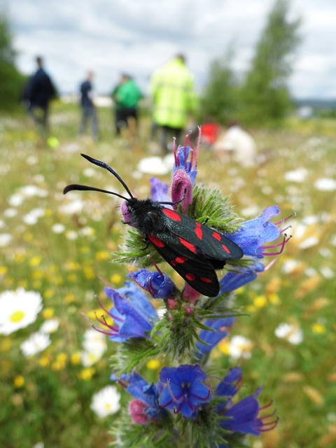 6 spot burnet moth at Fallin Bing 2013. Photo: Suzanne Burgess / Buglife Scotland