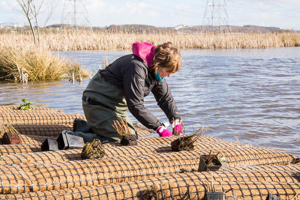 Planting new floating islands at RSPB Black Devon Wetlands